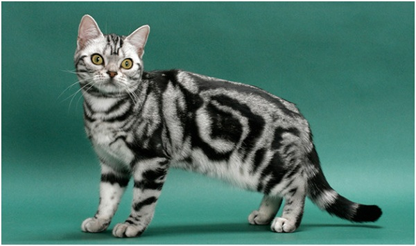 American shorthair - 16 years