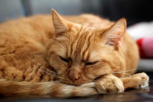red-cat-kitten-pet-red-sleep
