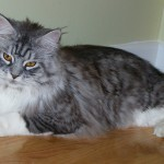 maine-coon-cat 1