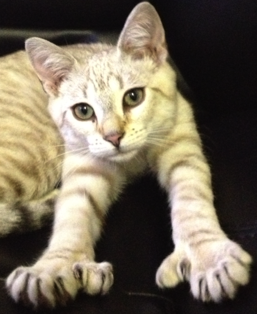 Polydactyl Cat Fun Facts