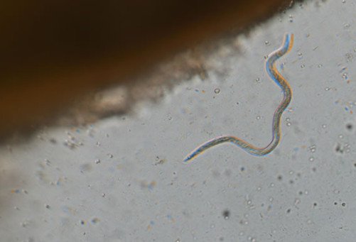 Nematodes and Water