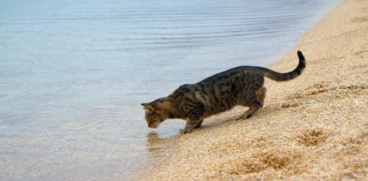 cats can drink seawater
