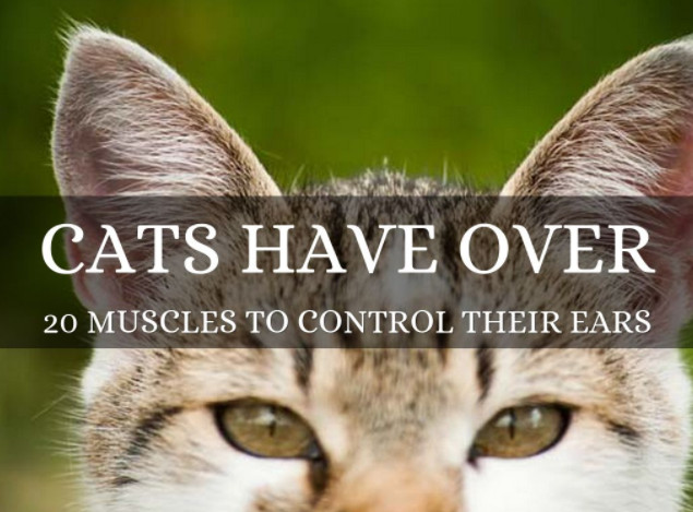 Cat's ears are controlled by over 20 muscles